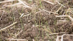 Photograph of black grass get help from an agronomy company UK